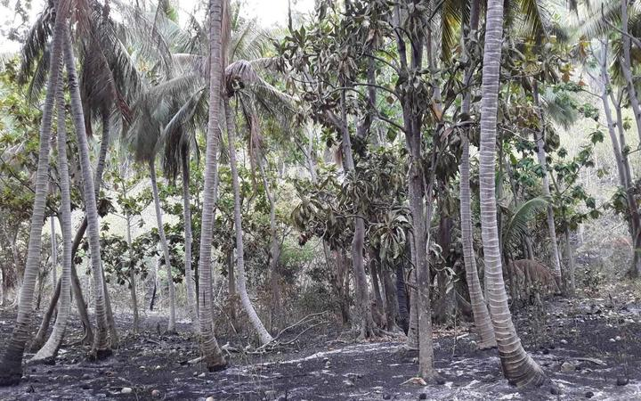 Scorched earth in a coconut plantation on Santo.
