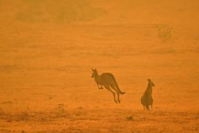 A kangaroo jumps in a field amidst smoke from a bushfire in Snowy Valley on the outskirts of Cooma