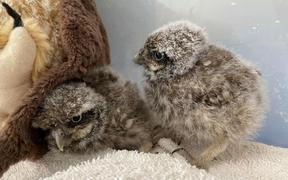 The two owlets came to the South Island Wildlife Hospital from the Mairehau area