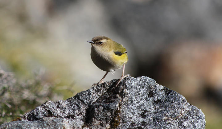 Rock wrens have long legs and very large feet. Their only living relatives are the diminutive rifleman.