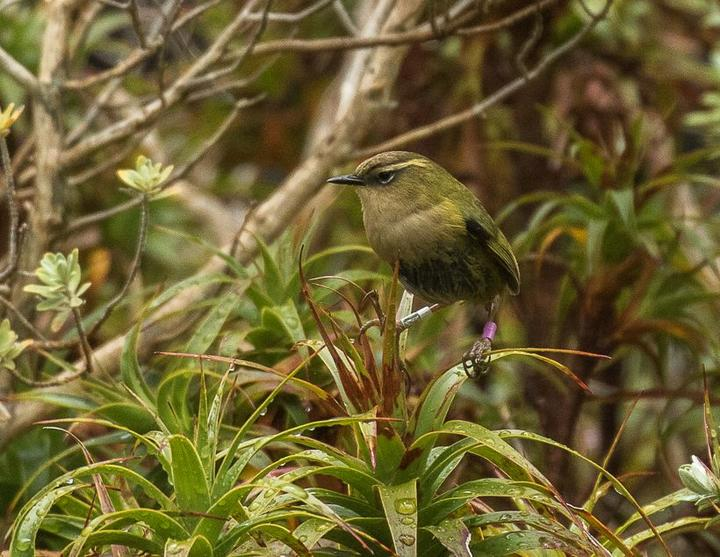 Rock wren live in subalpine and alpine areas on the western side of the South Island.