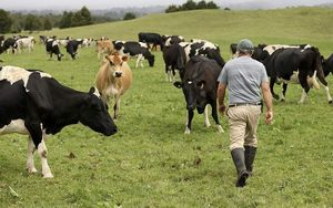 dairy farmer with cows