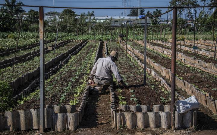 A farmer works at a suburban agriculture farm in Cerro Municipality in Havana, on May 9, 2017.