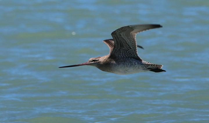 bar tailed godwit in flight.