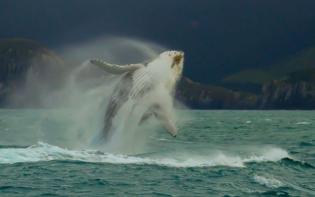 Humpback whale breaching in New Zealand
