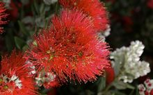 A US study has found Cryptococcus gattii on pohutukawa trees in California.