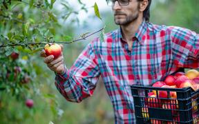 Picking apples. A man with a full basket of red apples in the garden. Organic apples.