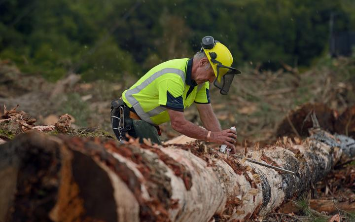 KUMARA, NEW ZEALAND, SEPTEMBER 20, 2017: A forestry worker measures a Pinus radiata log at a logging site near Kumara, West Coast, New Zealand.