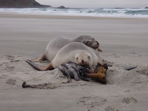 Two female sea lions asleep at Sandfly Bay on the Otago Peninsula.