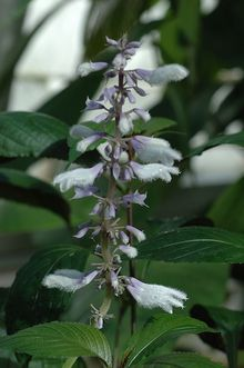The herb Salvia divinorum has been used by Mexican Indians as a powerful hallucinogenic drug for many centuries.