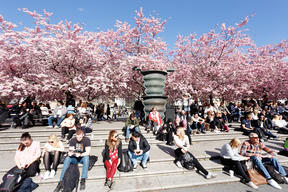 Crowds enjoying the spring cherry blossoms in Stockholm's Kungstradgarden park.