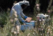 Landcorp plans to boost Field trials aimed at increasing production of manuka honey.