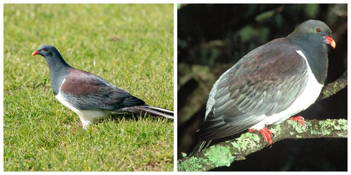Left: Parea foraging in a grassy field; Right Chatham_Island_Pigeon