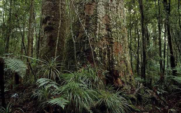 The potentially devastating Kauri dieback disease appears not to be spreading rapidly on the Coromandel Peninsula.