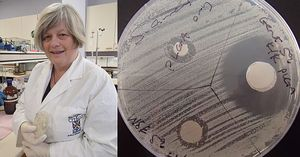 Microbiologist Michelle McConnell holds an agar plate impregnated with bacteria, testing the well-known anti-bacterial effects of the common antibiotic gentomicin (the large clear area), compared to the effect produced by wine waste (the smaller clear areas).