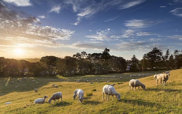 Sheep grazing in Cornwall Park.