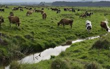 Dairy cows grazing by an unfenced stream.