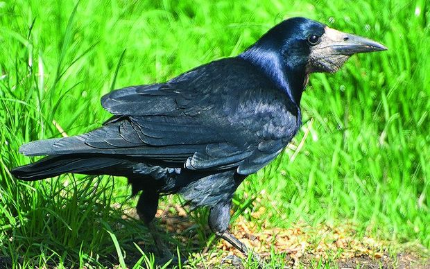 Rooks are regarded as pests because they can cause damage to crops and new grass.