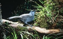 A North Island kokako.