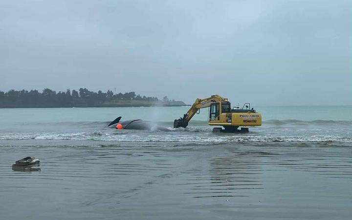 One of the diggers creating a channel to help the stranded whale return to the ocean.