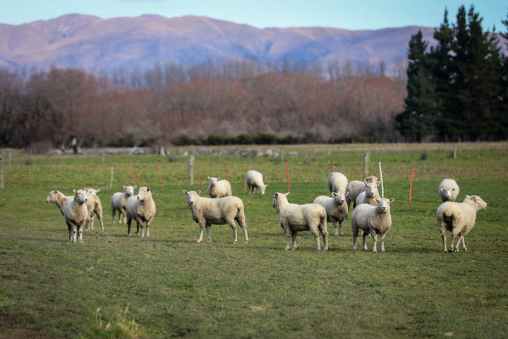 Wool prices have taken a big hit due to COVID-19, farmers are worried