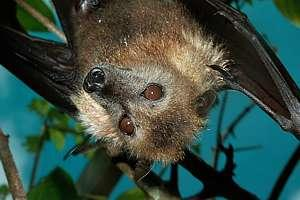 The Niuean fruit bat, the peka or flying fox.