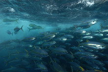 A school of yellow fin tuna encircled by a net