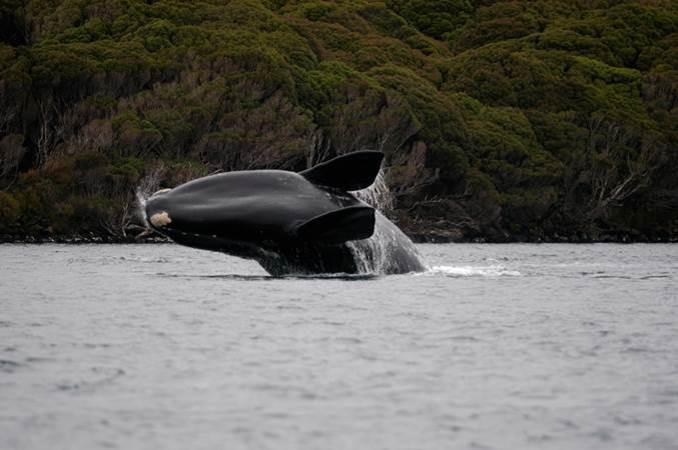 Southern right whale breaching out of the water, Auckland Island.