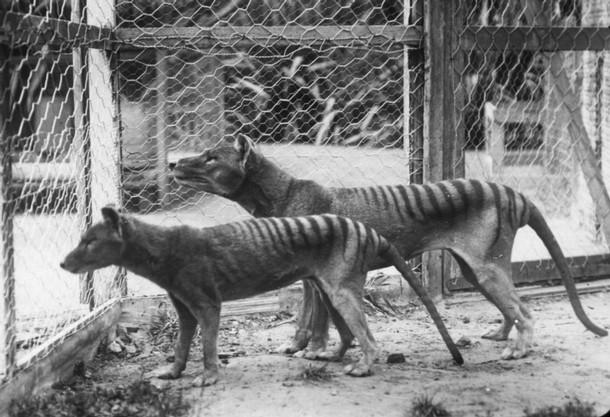 Tasmanian tigers in Hobart Zoo, before 1921.