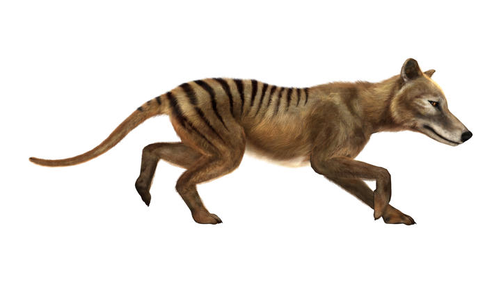 An artist's impression of a Thylacine coat. They are described as wolf or dog-like marsupials, with distinct stripes on their backs.
