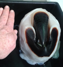 The dark beak of the colossal squid, which looks just like an enormous bird beak, is larger than the hand photographed alongside it for scale.