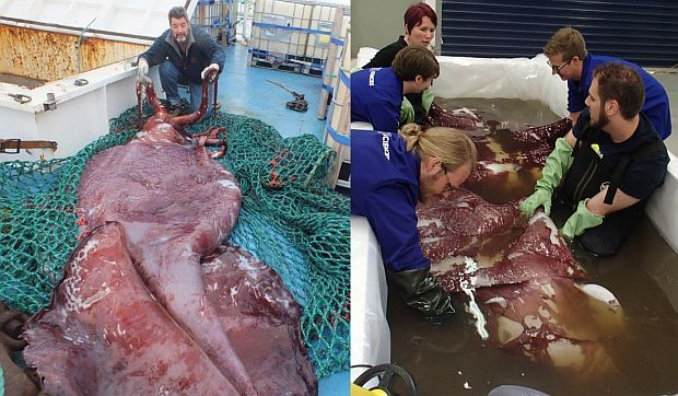 The colossal squid (left) on the deck of the Antarctic toothfish fishing boat the San Aspiring, with skipper John Bennett; (right) Kat Bolstad and a team of students holding the body of the colossal squid after it was thawed, during the live stream of their examination.