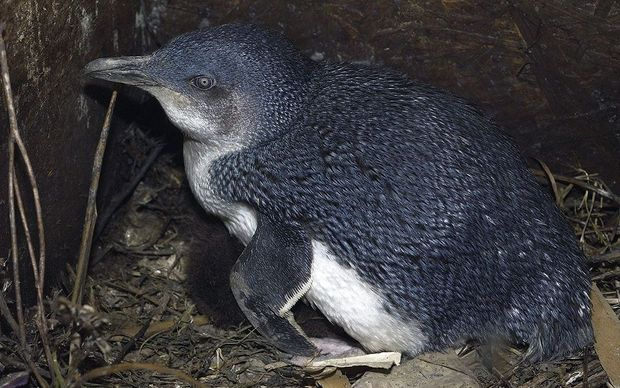 A blue penguin in a nesting box close to penguin colony in Oamaru, New Zealand.
