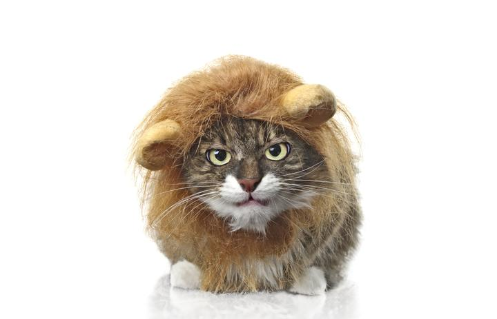 137311519 - longhair cat dressed up as a lion grumpy to the camera. isolated on white background.