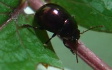 Scientists hope this beetle will feast on the weed.