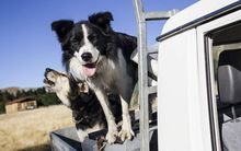 sheepdogs on truck