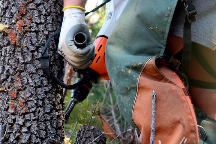 A pest controller drills holes in a pine before injecting it with poison.