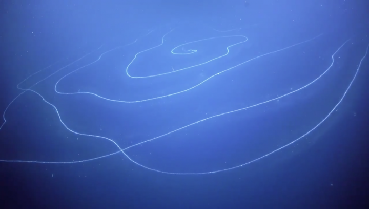 Siphonophores are predators that feed by dangling stinging tentacles in the water.