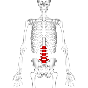 A picture of a skeleton, with the lumbar region of the spine (the five lower vertebrae) highlighted in red