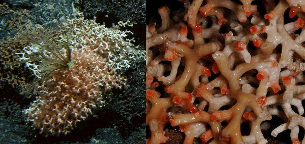 Image of the seafloor at 1200 metres depth with the scleractinian stony coral Goniocorella dumosa and feathery crinoids attached. On the right a specimen image shows the complex 3-D matrix and distinct orange-pink cups with live polyps.