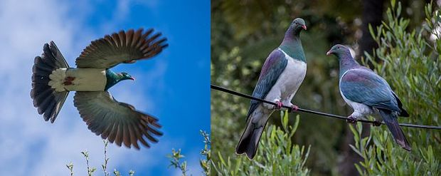 During the breeding season, kereru make spectacular display dives high above the forest canopy (left photo). Kereru were once commonly seen in very large flocks, but such flocks are a rare sight these days (right photo).