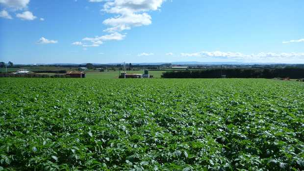 Potato fields in Pukekohe.