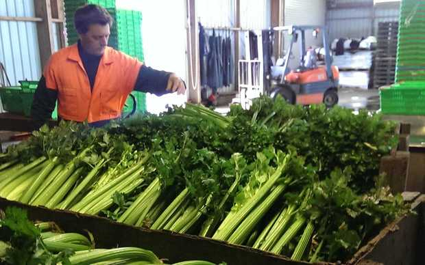 Celery grower Dave Clark at his nursery in Pukekohe.