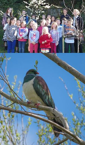 Room 2 at Tainui School, in Dunedin, counting kereru in the school orchard (top), and a kereru or New Zealand native pigeon.