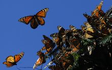 Monarch butterflies fly at the El Rosario butterfly sanctuary in Mexico.