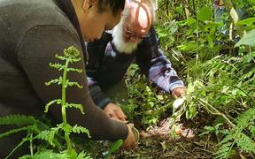 Nature photographer David Mudge helps plant Dactylanthus seeds at Zealandia ecosanctuary in Wellington.