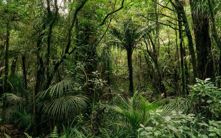 The Wharekirauponga bush in the Coromandel where OceanaGold is planning an underground tunnel to mine gold.