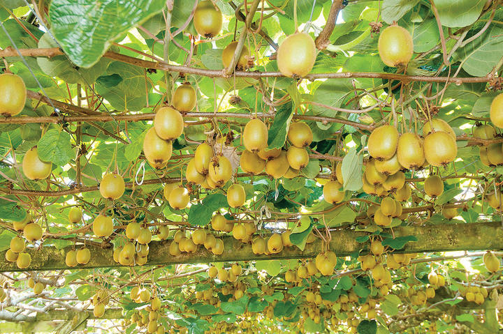 An adjustment to how gold kiwifruit properties are valued has added $200 million in value to Gisborne's horticulture industry.