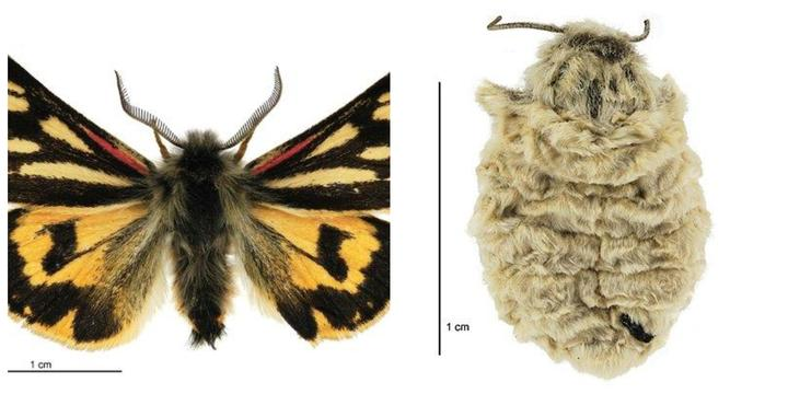 LEFT: Metacrias huttoni maleBirgit Rhode, Landcare Research New Zealand Ltd. RIGHT: Metacrias huttoni female_Birgit Rhode, Landcare Research New Zealand Ltd._
