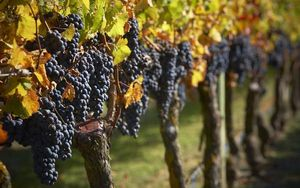 grapes on vine hawke's bay